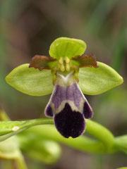 Ophrys vasconica - Ophrys de gascogne