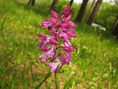 Hybride Orchis militaris x Orchis purpurea