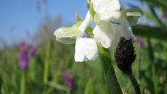 Anacamptis morio entièrement blanc ( seules les nervures vertes du casque, typiques de A.morio, restent )