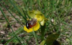 Coleoptère sur Ophrys lutea