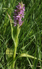 Dactylorhiza incarnata -  Orchis incarnat