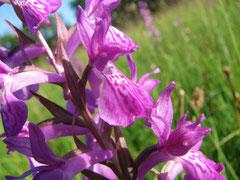 Dactylorhiza elata - orchis élevé