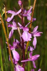 Anacamptis palustris - Orchis des marais