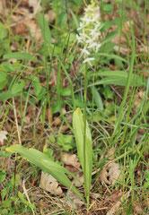 Platanthera bifolia - Platanthère à deux feuilles