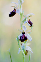 Ophrys arachnitiformis - Ophrys en forme d'araignée