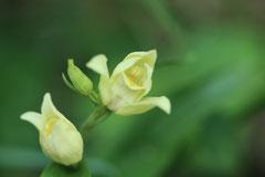 Cephalanthera damasonium - Cephalanthère blanchâtre