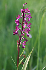 Anacamptis laxiflora - orchis à fleurs lâches