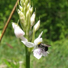 Abeille sur D.maculata