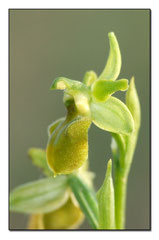Ophrys occidentalis hypochrome