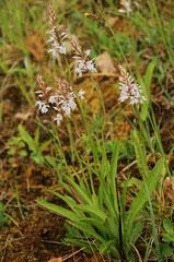 Dactylorhiza fuchsii -  Orchis de fuchs