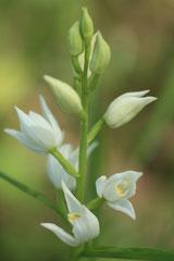 Cephalanthera longifolia - Cephalanthère à longues feuilles