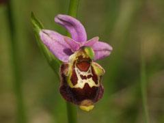 Ophrys aegirtica - Ophrys du Gers