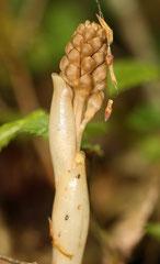 Neottia nidus avis (jeune pied)