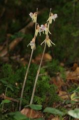 Epipogium aphyllum - Epipogon sans feuilles