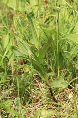 pied Epipactis palustris