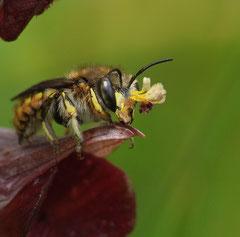 Megachilidae sur Serapias cordigera