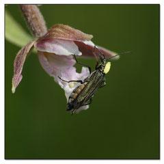 Arrachement des pollinies sur Epipactis Palutris