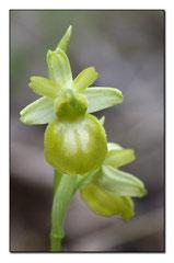 Ophrys sphegodes hypochrome