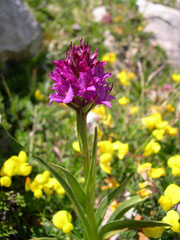 Gymnadenia Austriaca  x Gymnedenia conopsea