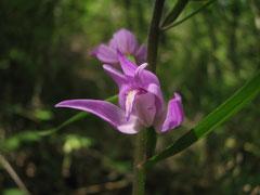 Cephalanthera rubra - Cephalanthère rouge