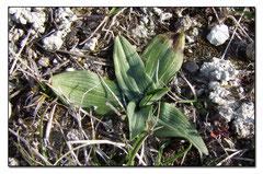 Ophrys occidentalis ( rosette )