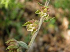 Epipactis microphylla - Epipactis à petites feuilles