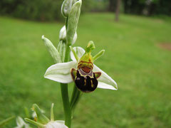 Ophrys apifera (aurita) à sépales blancs
