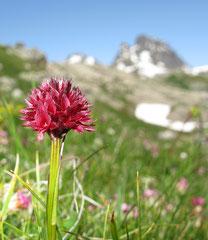 Gymnadenia austriaca - Nigritelle d'Autriche
