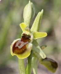 Ophrys araneola - Ophrys litigieux