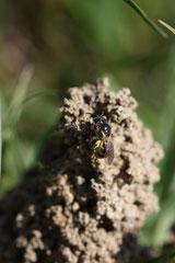 Halictus, Evylaeus marginatum revenant à son nid
