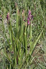 Anacamptis laxiflora ( pied et inflorescence )