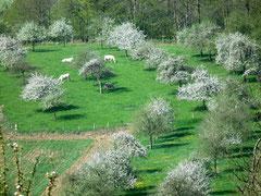 Poiriers en fleurs, Domfront, Normandie, Orne