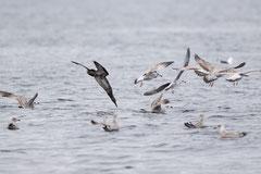 junger Basstölpel taucht ins Wasser, Rosemarkie Bay