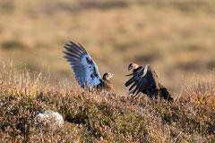 kämpfende Moorschneehühner