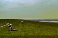 Sylt, Deich mit Schafen, analog fotografiert