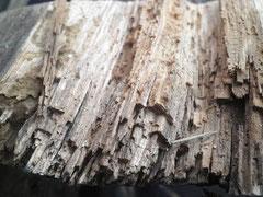 Holzzerstörende Pilze-u. Insekten an