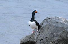 Antarktischer Kormoran (Phalacrocorax bransfieldensis)