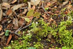 OMORA Etno-Botanical Park, Miniature Forest of Cap Horn archipelago