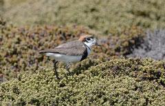 Falkland Regenpfeifer / Charadrius Falklandicus)