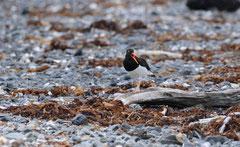 Südamerikanischer Austernfischer (Haematopus ater)