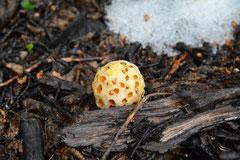 Indian Bread (Indianerbrot, Chao-Chao oder IIa-IIao) ist ein Pilz, der als Schmarotzer auf vielen Bäumen gedeiht. Die Kugeln sind wirklich essbar, ...