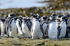 Magellanpinguine / Magellanic Penguins