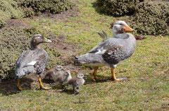 Danpfschiffente / Steamer Duck