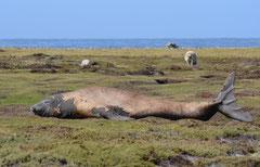 See-Elefanten (Mirounga)
