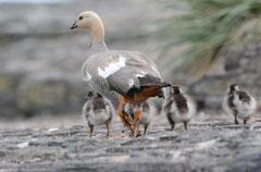 Magellangans / Maggelan Goose