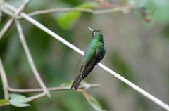 Kubasmaragdkolibri (Chlorostilbon ricordii)