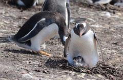 Eselpinguin / Gentoo Penguin