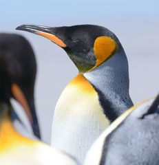 Königspinguin / King Penguin
