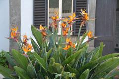 Strelizie oder auch Paradiesvogelblume