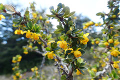 Calafate, Buchsblättrige Berberitze (Berberis microphylla)